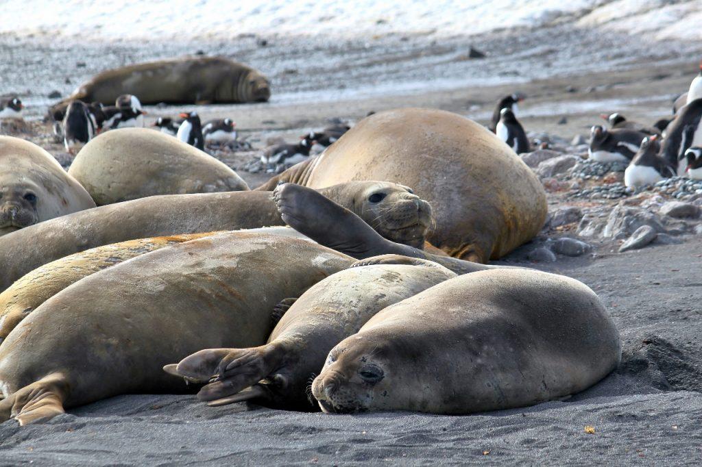 Southern Elephant Seals, Barrientos Island.